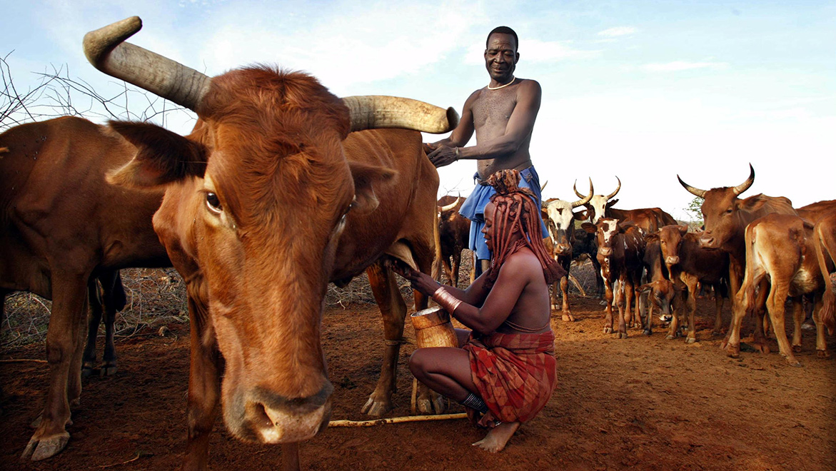 Himba women do the milking into a wooden pail that her husband has carved. But once she transfers the milk into a palm frond woven basket that she has made, the milk is hers to allocate as she wishes