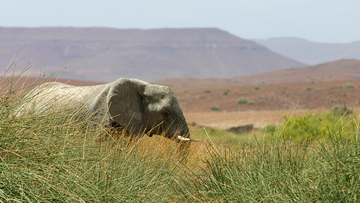 A desert elephant enjoys green reeds and open water in the lower Huab valley